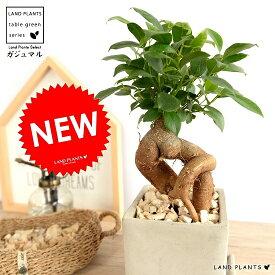 ガジュマル (幹太タイプ) 灰色 セメント キューブ 陶器鉢 Sサイズ 鉢植え 鉢 なえ 苗木 苗 観葉植物灰 グレー ネズミ 四角 スクエア 送料無料