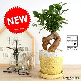 ガジュマル(幹太タイプ) やさしい色合い 陶器鉢 (黄色) 鉢植え 陶器鉢 鉢 苗 苗木 イエロー 黄 丸 ラウンド 観葉植物 送料無料