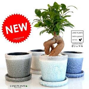【選べる4色】 ガジュマル(幹太タイプ) やさしい色合い 陶器鉢 (各1色) 鉢植え 陶器鉢 鉢 苗 苗木 青色 水色 白色 灰色 ラウンド 観葉植物 送料無料