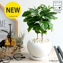 コーヒーの木 白色 大丸 陶器鉢(黄色小石) 珈琲 coffee コーヒーノキ 苗木 苗 観葉植物 植物 鉢植え 鉢 送料無料 白…