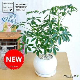 シェフレラ(緑葉:コンパクタ) 白色 丸型 陶器鉢 小葉の品種 カポック シェフレラコンパクタ 香港 ホンコンカポック 観葉植物
