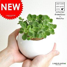 アロマティカス 白色 丸形 陶器鉢 プレクトランサス キュバンオレガノ ハーブ ハーブティー 観葉植物 敬老の日 ポイント消化 観葉植物