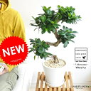 New!! 曲がりガジュマル 盆栽仕立ての ガジュマル 白色デザイン陶器に植えた 美樹形 がじゅまるの木【楽ギフ_の…