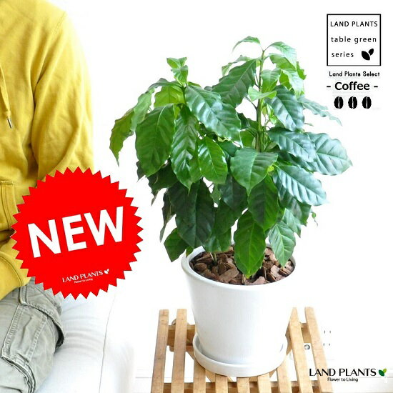 new! コーヒーの木 卓上サイズ 白色デザイン陶器に植えた コーヒーノキ【楽ギフ_のし】【楽ギフ_のし宛書】【楽ギフ_メッセ】【楽ギフ_メッセ入力】珈琲 敬老の日 ポイント消化 観葉植物