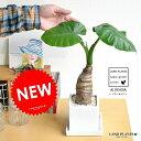 NEW!! クワズイモ 白色シンプルスクエア陶器鉢に植えた アロカシア M鉢【楽ギフ_のし】【楽ギフ_のし宛書】【楽ギ…