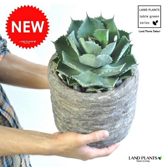 New!! アガベ 雷神 ストーン加工の陶器鉢に植えた リュウゼツラン アロエ カリフォルニア 竜舌蘭 アガペ アガヴェ ポタトルム 鉢植え 敬老の日 ポイント消化 観葉植物