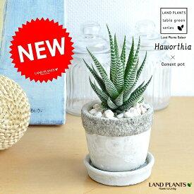 多肉植物(十二の巻) 石模様のセメントポット Sサイズ 陶器鉢 ハオルチア ジュウニノマキ ハウォルチア Haworthia attenuata