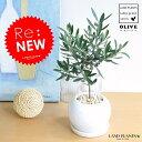 NEW!! オリーブ 白色丸型陶器に植えた 卓上サイズの オリーブの木 【室内用】 結婚式で両親へのプレゼント 結…