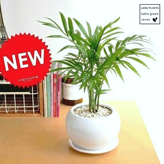 New!! テーブルヤシ 白色丸型陶器に植えたtable green series ヤシ アレカヤシ ロベヤシ 敬老の日 ポイント消化 観葉植物