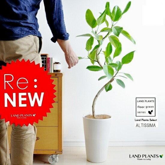 送料無料 アルテシーマ 白色 スリム丸型陶器に植えた フィカス・アルテシーマfloor green series ゴム ゴムの木 敬老の日 ポイント消化 観葉植物