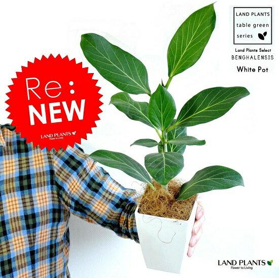 【お試し】 ベンガレンシス 4号 白色 プラスチック鉢 鉢植え ベンガルゴム ゴム ゴムの木 オードリー ゴムノキ 鉢 苗 苗木 白 ホワイト 観葉植物