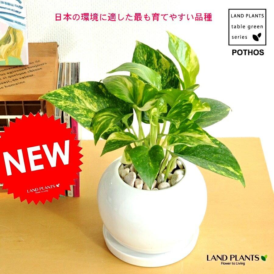 ポトス 白丸陶器鉢 オウゴンカズラ つる性サトイモ 敬老の日 ポイント消化 観葉植物 鉢植え 卓上