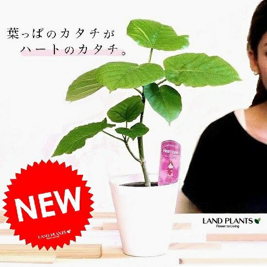【お試し】 ウンベラータ 白プラスチック鉢 4号 卓上サイズ