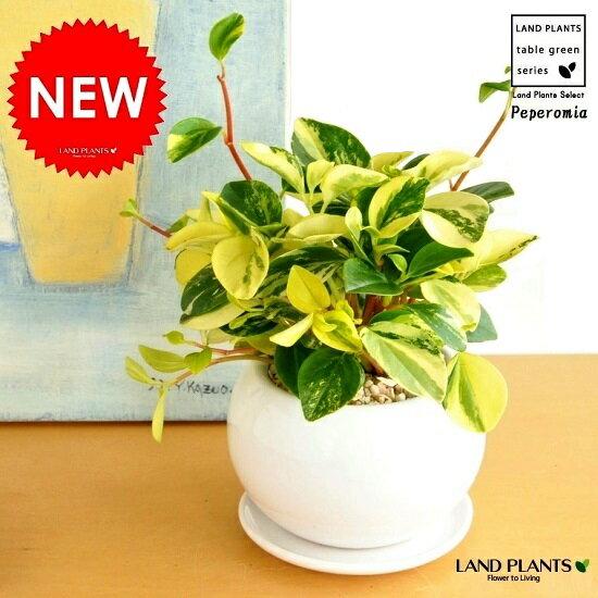 ペペロミア・グラベラ 白色丸型陶器に植えた 多肉質の植物 敬老の日 ポイント消化 観葉植物