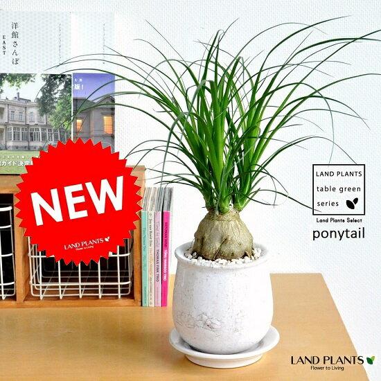 ALL-NEW!! トックリラン(ノリナ) 風合いのあるラウンド型陶器鉢に植えた 幹の太い ポニーテール 子ぶたのしっぽ 敬老の日 ポイント消化 観葉植物