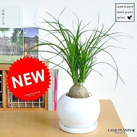 new!! トックリラン(ノリナ) 白色丸型陶器鉢に植えた 幹の太い ポニーテール 子ぶたのしっぽ 敬老の日 ポイント消化 観葉植物