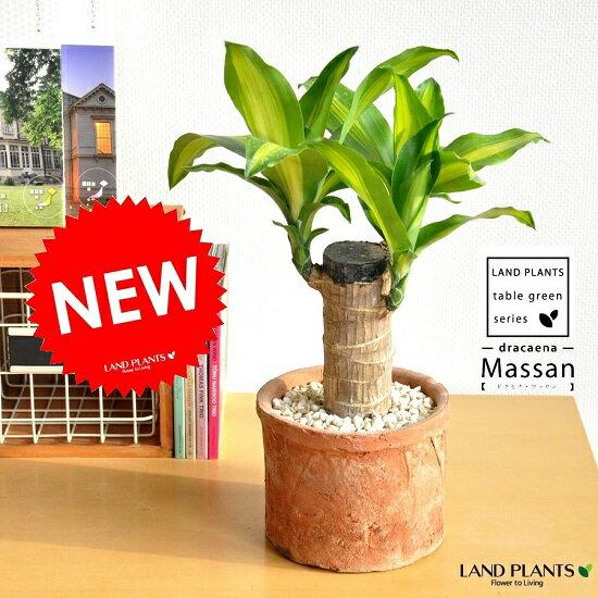 NEW!! 幸福の樹 ドラセナ・マッサン モスポット鉢に植えた マッサンゲアナ シリンダー型 テラコッタ鉢 マッサンギアナ観葉植物の代表です♪ギフトに最適ITEMを♪ MOSS POT リュウゼツラン ドラセナマッサン 敬老の日 ポイント消化 観葉植物