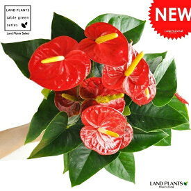 【 観葉植物 】 アンスリューム真赤な花付き観葉植物 白色プラスチック鉢 5号サイズ アンスリウム アンス ロイヤルチャンピオン母の日 敬老の日 ポイント消化 観葉植物