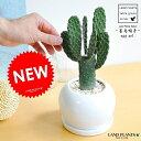 サボテン(墨烏帽子:スミエボシ)1本立ち 白色 丸型 陶器鉢 1F コンパクトな 柱サボテン セレウス サボテン バ…