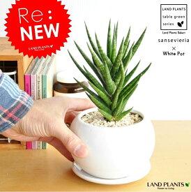 サンスベリア フランシシー白色丸型陶器鉢に植えた サンセベリア リュウゼツラン 敬老の日 ポイント消化 観葉植物