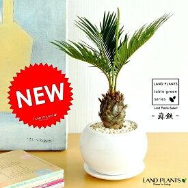 ソテツ 白色丸型陶器鉢に植えた 卓上サイズの蘇鉄 縁起の良い植物 敬老の日 ポイント消化 観葉植物