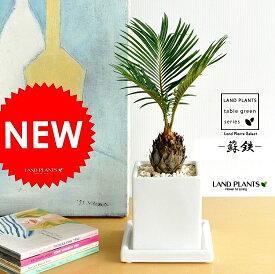 ソテツ 白色 キューブ陶器 SSサイズ 卓上サイズ 蘇鉄 ポイント消化 観葉植物