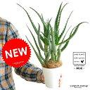 【お試しサイズ】 New!! キダチアロエ 4号 白色プラ鉢セット 木立アロエ 卓上で育てるアロエ 【楽ギフ_メッセ…