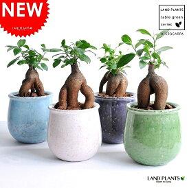 【選べる4色】 ガジュマル(Sサイズ) 風合いある 陶器鉢 幸福をもたらす 多幸の樹 精霊 がじゅまるの木 鉢植え 鉢 苗 苗木 丸 ラウンド 観葉植物 送料無料