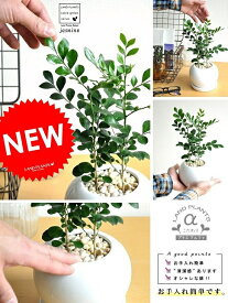 シルクジャスミン (月橘:ゲッキツ) 白色 丸型 陶器鉢 観葉植物 白 ホワイト ボールポット