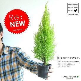 Re:new!! 苗木 ゴールドクレスト 3号 コニファー 成長速度の速い植物 寄せ植えや、お庭のシンボルツリーに! ウィルマ クリスマスツリー クレスト 垣根 生垣 ポイント消化 観葉植物 敬老の日 ポイント消化 観葉植物