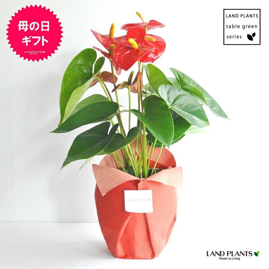 【 観葉植物 】 フラワーギフト 大人気 アンスリューム真赤な花付き観葉植物 アンスリウム アンス ロイヤルチャンピオン 敬老の日 ポイント消化 観葉植物