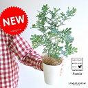 NEW!! ミモザ・アカシア 4号サイズ ギンヨウアカシア 苗から育てよう♪ 黄色の花をつける ハナアカシア 鉢植え…