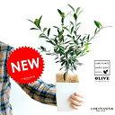 【お試しサイズ】 NEW!! オリーブ 4号サイズ 白色鉢カバーセット オリーブ苗・苗木・苗・鉢植え・鉢 ポイント消化・観葉植物・植物 結婚式で両親へのプレゼント・結婚式の記念品・両親贈呈ギフト・両親