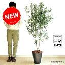 NEW!! オリーブ 10号サイズ 黒セラーアート鉢に植えた オリーブの木 鉢植えオリーブ 【【楽ギフ_メッセ】【楽ギ…