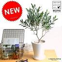 new!! オリーブ 白色マットトールポットに植えた オリーブの木 鉢植えオリーブ 引越し祝い・新築祝い・5000円 …