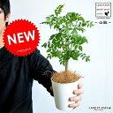 【お試しサイズ】 NEW!! 山椒(サンショウ) 白色プラスチック鉢セット サンショウ苗 山椒の木 木の芽 ハジカミ…