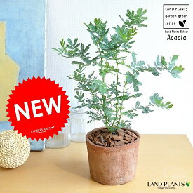 NEW!! ミモザ・アカシア モスポット鉢に植えた ギンヨウアカシア シリンダー型 テラコッタ鉢 苗から育てよう♪ 黄色の花をつける ハナアカシア 鉢植え オジギソウ 銀葉アカシア ギンバアカシア ミモザアカシア アカシアの木 3月8日はミモザの日