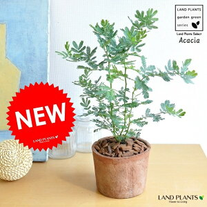 NEW!! ミモザ・アカシア モスポット鉢に植えた ギンヨウアカシア シリンダー型 テラコッタ鉢 苗から育てよう♪ 黄色の花をつける ハナアカシア 鉢植え オジギソウ 銀葉アカ