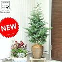 NEW!! ボールバード(コニファー) デザインの良いテラコッタ 鉢植えコニファ ブルーバード・ヒノキ科・ヒノキ属…