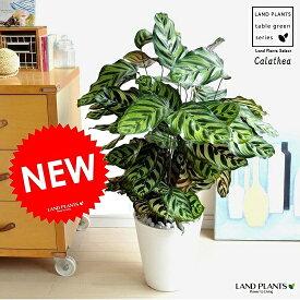 NEW!! カラテア マコヤナ 白色セラアート鉢に植えた 美しい葉の植物 ゴシキヤバネショウ マコヤーナ カラーリーフ 敬老の日 ポイント消化 観葉植物