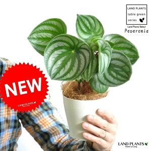 【お試しサイズ】 スイカペペロミア ペペロミア アルギレイア(スイカぺぺ) 白色プラスチック鉢セット 4号サイズ 多肉質の植物【父の日ギフト】 サンデルシー ペペ スイカぺ