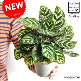 【お試しサイズ】 NEW!! カラテア マコヤナ 白色プラスチック鉢セット 4号サイズ 【父の日ギフト】 クズウコン Calathea 敬老の日 ポイント消化 観葉植物