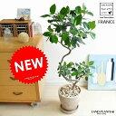 NEW!! フランスゴム 曲がり 3Dカーブ 茶色エッグ陶器鉢に植えた ゴムの木 フィカス・ルビキノーサ ゴム フラ…