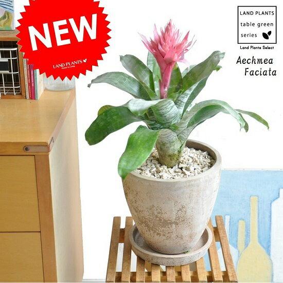 NEW!! エクメア・ファッシアータ 茶色エッグポット植えた シマサンゴアナナス Aechmea Faciata エクメアファッシアータ パイナップル 敬老の日 ポイント消化 観葉植物
