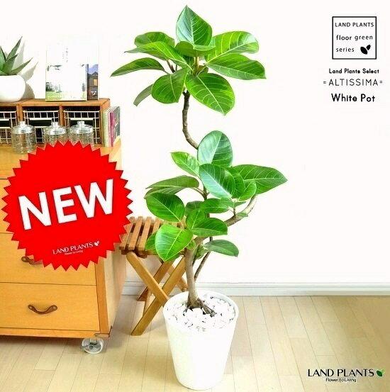 NEW!! アルテシーマ 曲がり 3Dカーブ 白セラアート鉢に植えた バリエガータ こだわり樹形 斑入りゴムの木 フィカス・アルテシーマゴム・ゴムノキ・アルテシマゴム・アルテシマ・アルティーシマ・アルティシーマ 敬老の日 ポイント消化 観葉植物