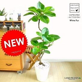 アルテシーマ 曲がり 3Dカーブ 白セラアート鉢に植えた バリエガータ こだわり樹形 斑入りゴムの木 フィカス・アルテシーマゴム・ゴムノキ・アルテシマゴム・アルテシマ・アルティーシマ・アルティシーマ 敬老の日 ポイント消化 観葉植物