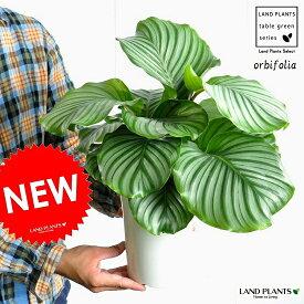 NEW!! カラテア オルビフォリア 6号 白色プラスチック鉢セット Calathea orbifolia クズウコン 敬老の日 ポイント消化 観葉植物