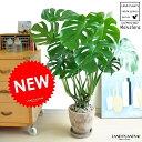 NEW!! モンステラ 茶色エッグポットに植えた デリキオサ 鳳来蕉 モンスター・ペルツーサ・ホウライショウ属・デ…
