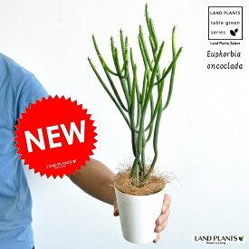 【お試しサイズ】 NEW!! ユーフォルビア・オンコクラータ 白色プラスチック鉢セット 4号サイズ フユーフォルビア・トウダイグサ・ユーホルビア カクタス・苗・苗木・敬老の日・ポイント消化・観葉植物 Euphorbia oncoclada・マダガスカル