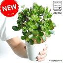 【お試しサイズ】 NEW!! カネノナルキ(花月) 4号 白色プラスチック鉢セット 多肉植物・多肉質・多肉・ カクタス…